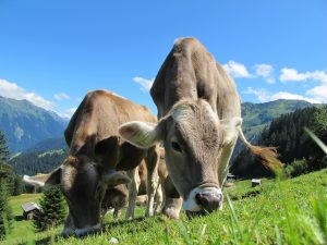 Kühe auf einer Alm