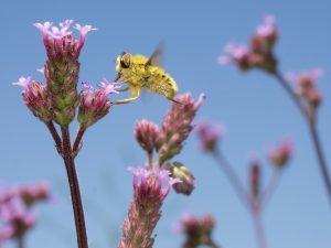 Insekt bestäubt Blüte